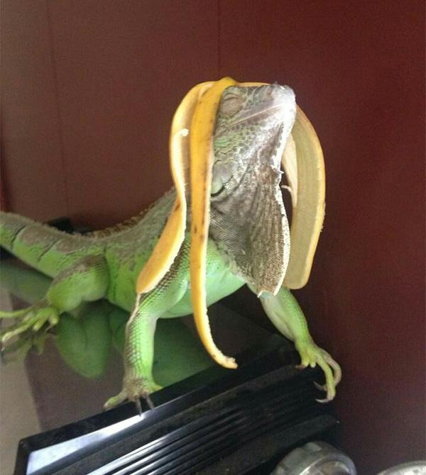 iguana banana hair