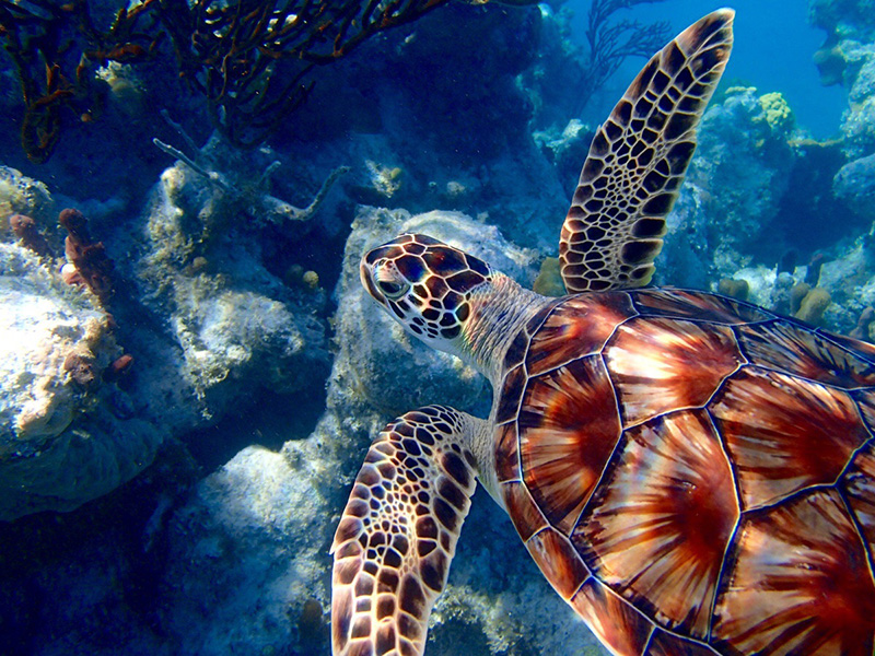 majestic sea turtle