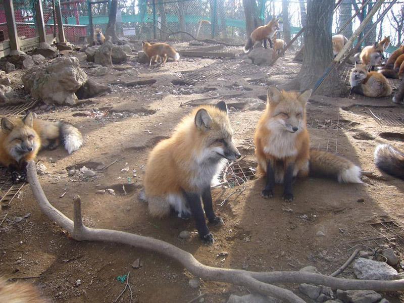 fox farm in Japan