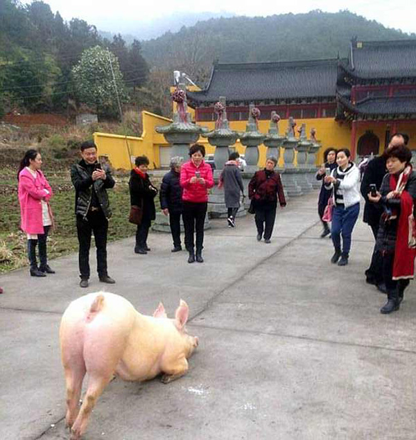 pig prays at temple