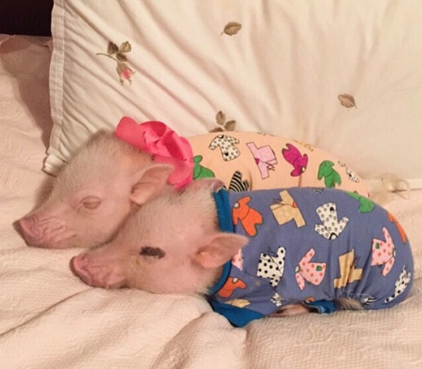 piglets sleeping in pajamas