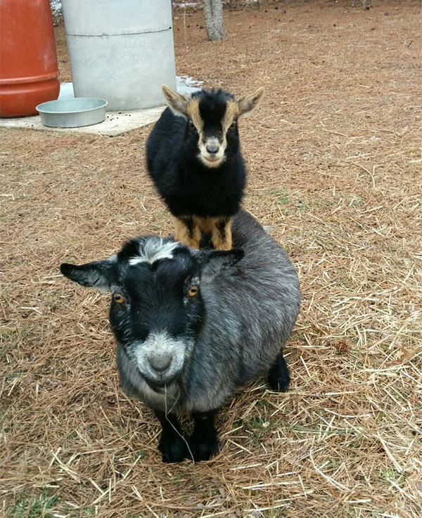 goat on top of a goat