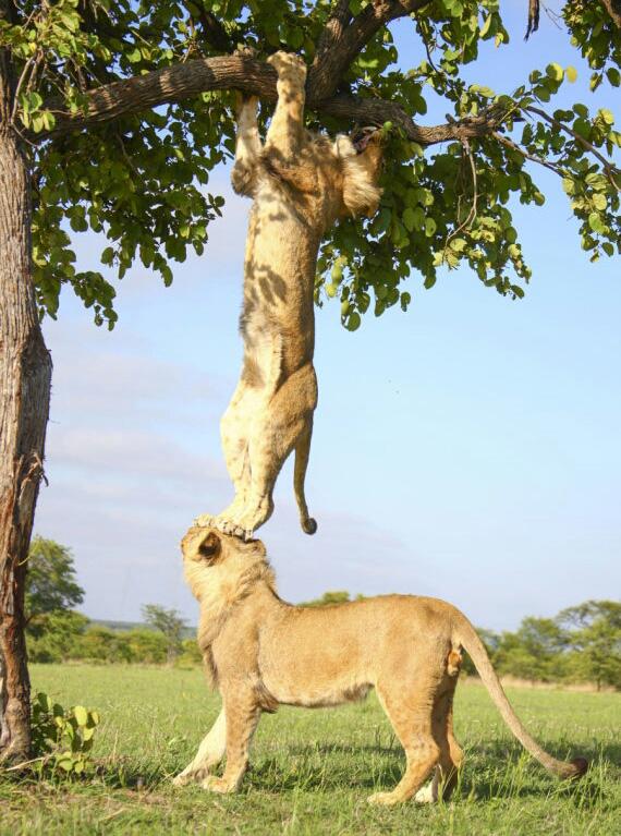 lion friends in tree