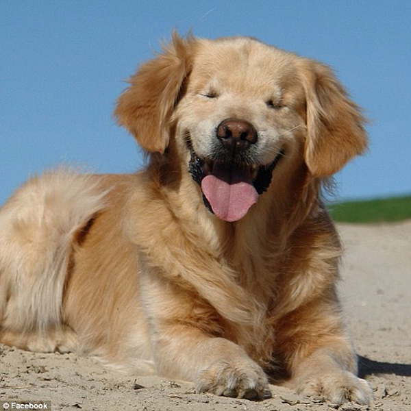 smiley blind golden retriever therapy dog