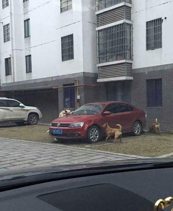 dogs get revenge on human attack car