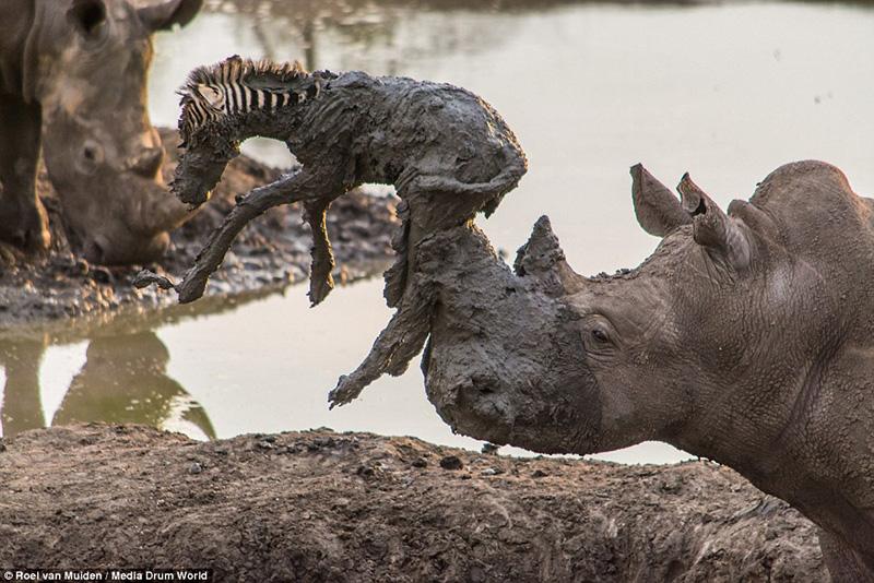 rhino saves baby zebra from mud