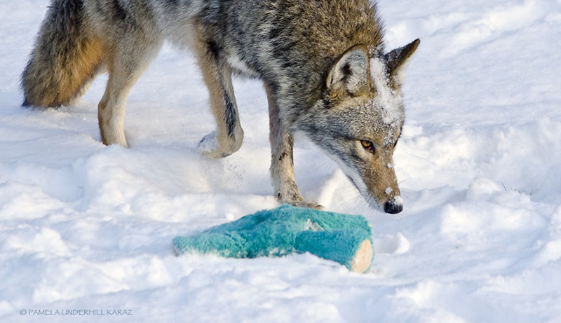 Puppy Toys For 10 And Up : Coyote finds an old dog toy in the snow proceeds to play