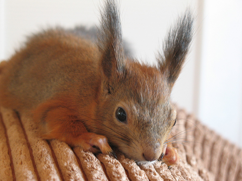 adopted injured baby squirrel