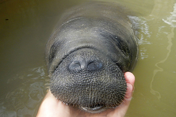 teen saves baby manatee