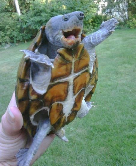 jazz hands turtle