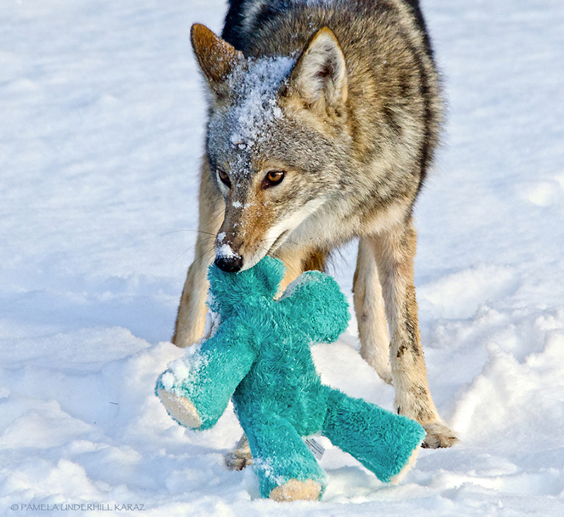wolf plays with toy in snow
