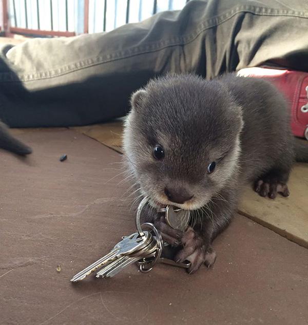 baby otter keys