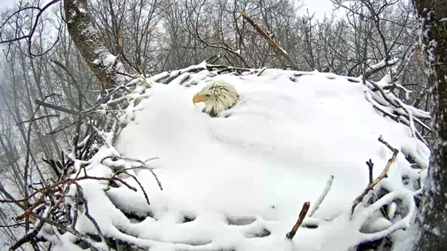 bald eagle protects babies in nest from snow