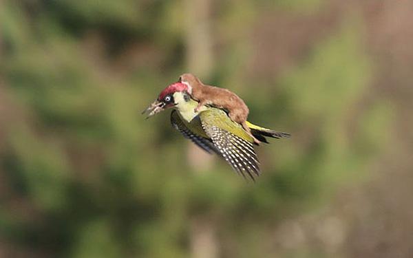 weasel rides hummingbird