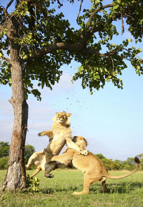 lion bros