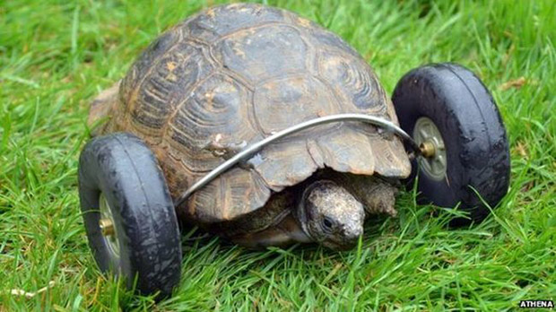 turtle with wheels