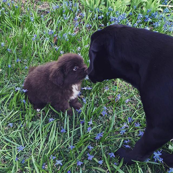 lab meets puppy
