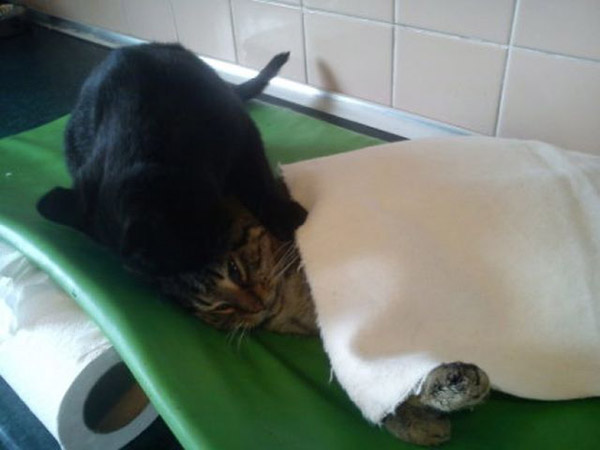 cat helps other cats at shelter