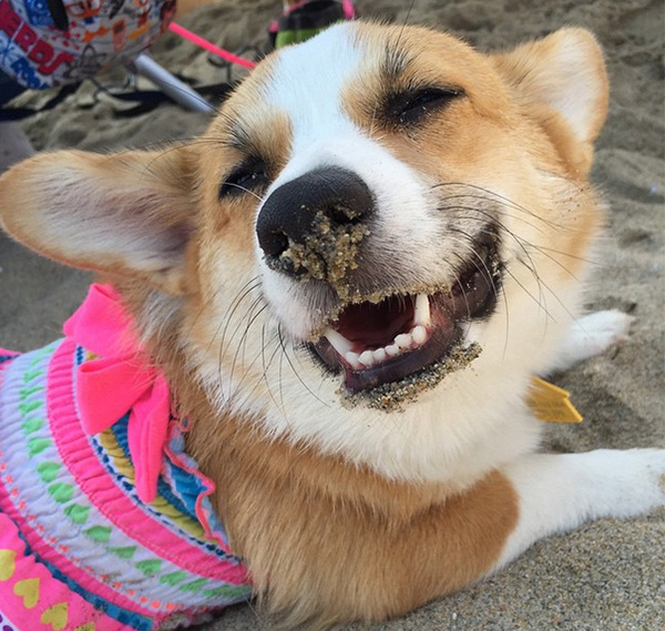 corgi beach day so cal