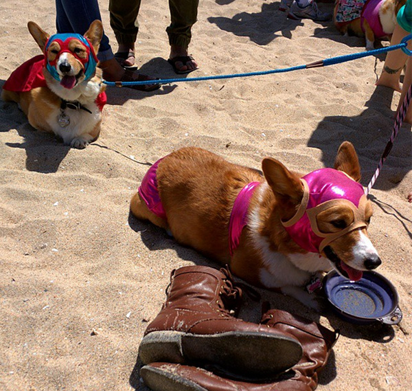 corgi beach day