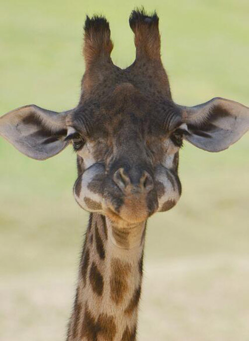 giraffe baby mouth full