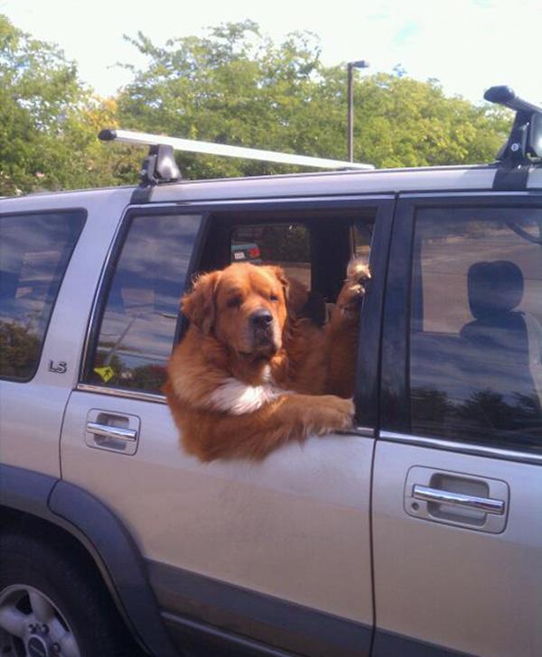 dog in car get in
