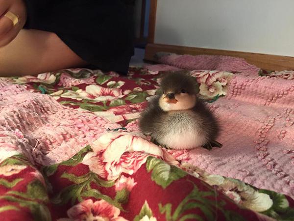 fat baby duck