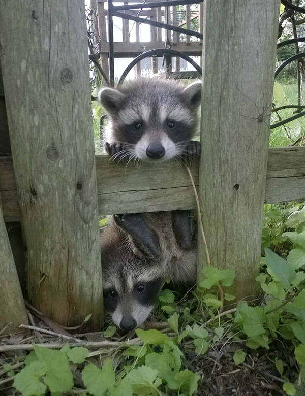 raccoons looking through fence