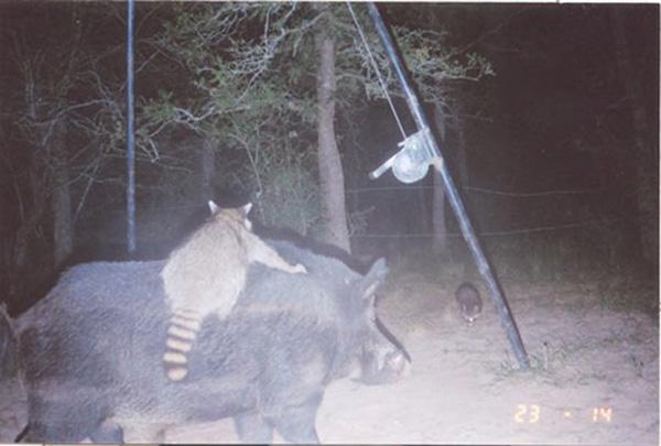 boar raccoon wildlife camera