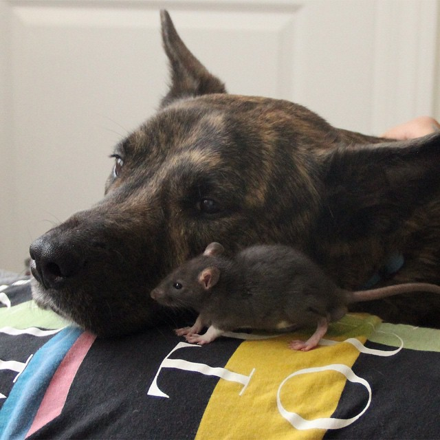 dog and rat best friends