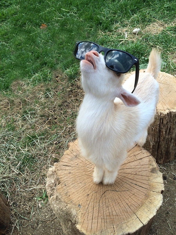 goat looking into sky with shades