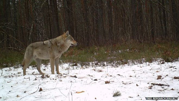 wildlife in Chernobyl thriving