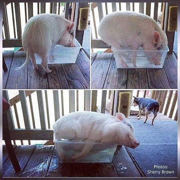 pig in small bucket of water