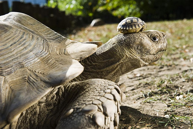 140 year old tortoise wears baby as hat