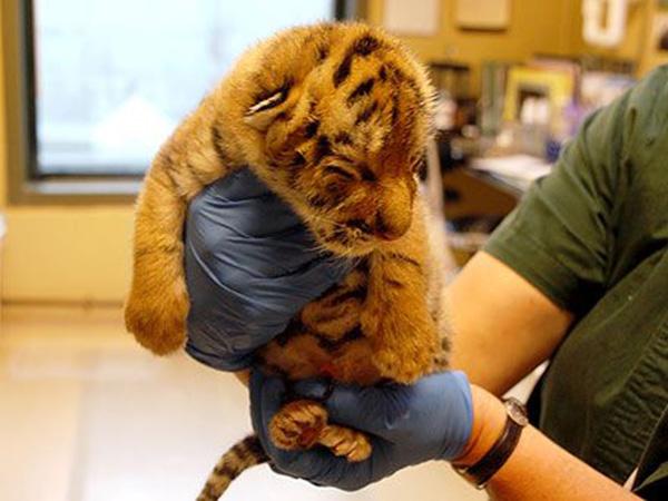 cutest baby tiger