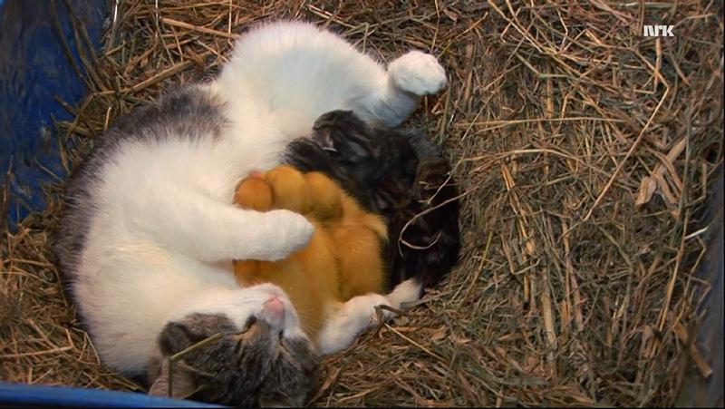 mama cat adopts ducklings