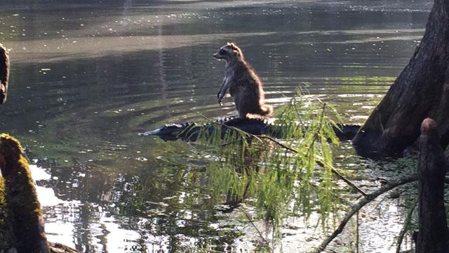 raccoon riding alligator