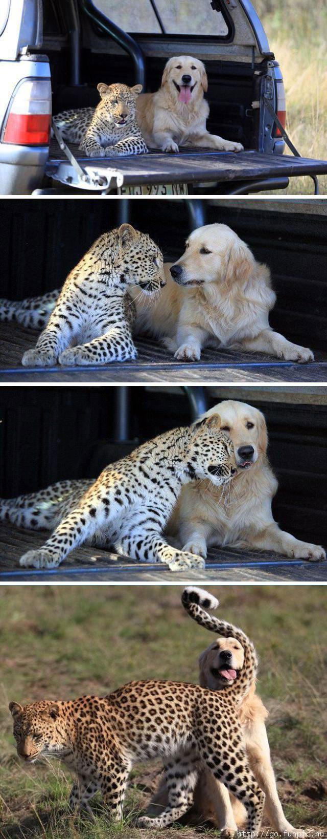 dog leopard friends