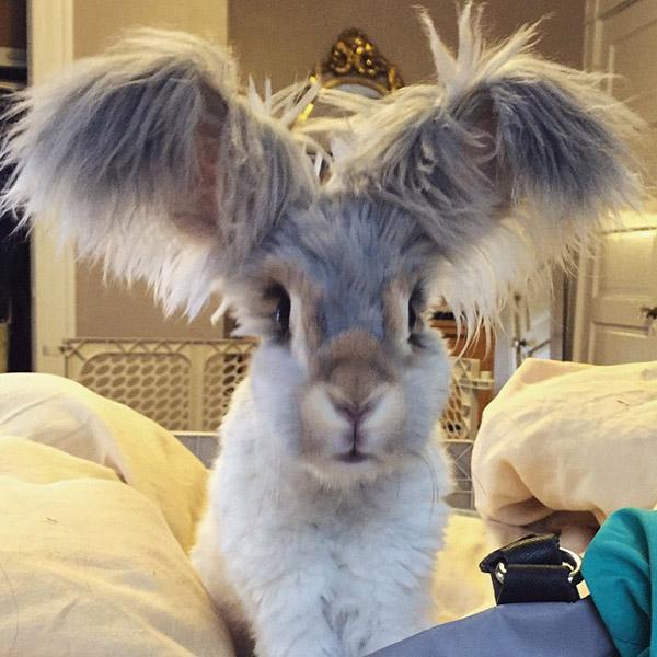 wally the rabbit fluffy ears