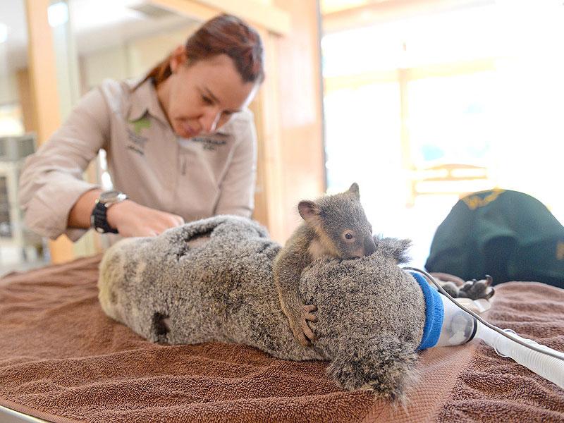 baby koala with mom surgery