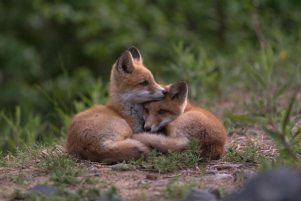 fox cubs cuddling
