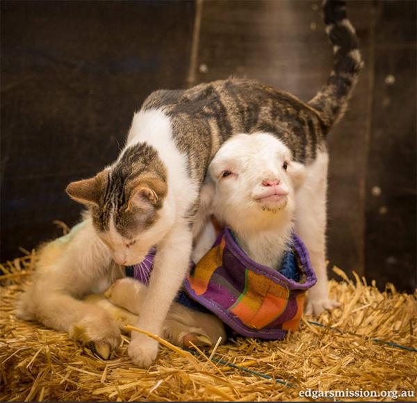 goat wearing cat