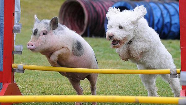 dog vs pig