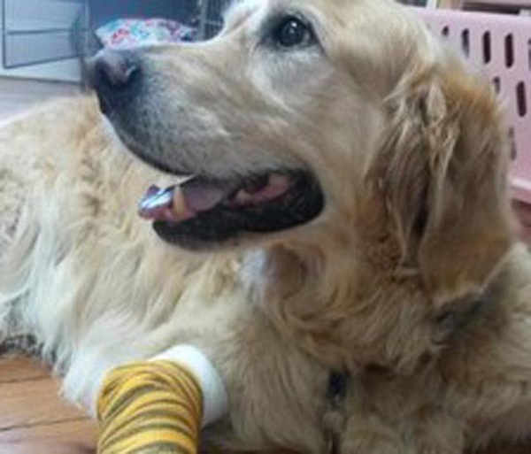 hero dog jumps in front of bus to save blind owner