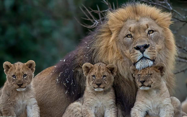 lion dad with kids