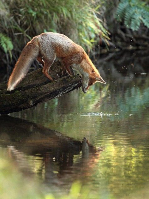 fox sees his own reflection