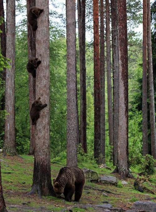 bear cubs hiding from mom