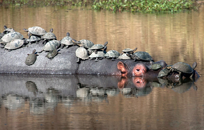 turtles on hippo getting sun
