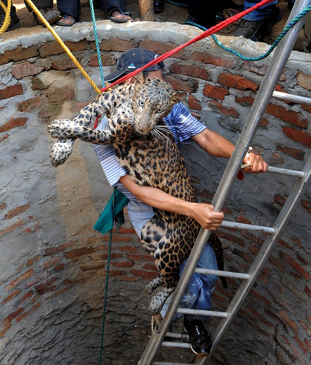 man saves trapped leopard from well. Black Bedroom Furniture Sets. Home Design Ideas