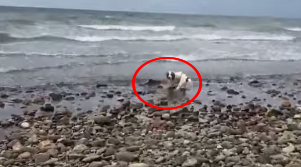 dog saves baby dolphin